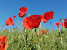 Closeup Of Common Poppy (Papaver Rhoeas)  In Green Grass. Blue Sky In The Background. Common Names Are Corn, Field, Flanders Or Red Poppy And Corn Rose