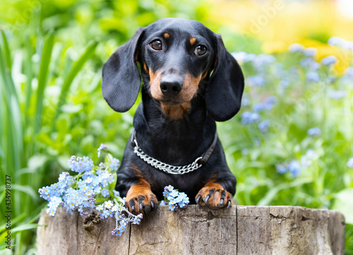 dachshund dog black tan  color and spring flowers Fototapet