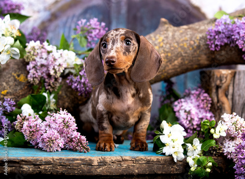 Fotografie, Tablou dachshund puppy brown tan merle color and spring flowers