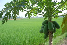 Papaya Trees Are Not Very Tall But Bear Fruit Abundantly