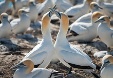 Gannet Pairs Dancing At Cape Kidnappers, New Zealand