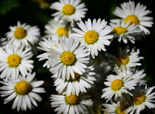 Ox-eye Daisy Flower. Other Name Oxeye Daisy, Or Dog Daisy. Soft Green Grass And Foliage. Spring Nature Scene. Small White Petals With Yellow Sponge Like Center. Freshness And Purity. Full Frame Setup