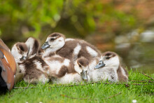 Egyptian Goose Family With Goslings