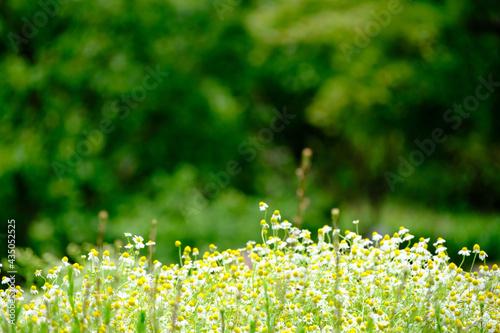 Fotografie, Tablou 欧州、西アジア〜インド原産のハーブ、ジャーマンカモミール。花にフルーティな芳香。甘く優しい香りで心をほっと和ませてくれる。リラックス効果がある。花言葉は「苦難に
