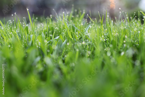 Tela green grass with dew drops