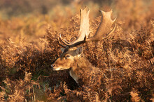 Deer Resting And Eating In The Red Ferns Of In The Dutch Nature Reserve Of The Amsterdamse Waterleidingduinen. A Dune Area Near Zandvoort And Amsterdam. Dutch Autumn Landscape.