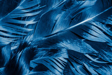Blue And Black Rooster Feathers. Background Or Texture