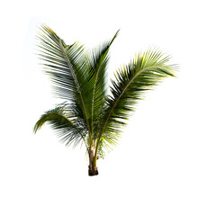 Coconut Palm Tree Isolated On The White Background.