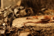 The Corn Snake (Pantherophis Guttatus Or Elaphe Guttata) Is Lying On The Stone, Dry Grass And Dry Leaves Round. Up To Close.