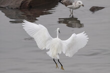 Egret During His Fishing Activity