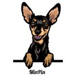 Miniature Pinscher - dog breed. Color image of a dogs head isolated on a white background