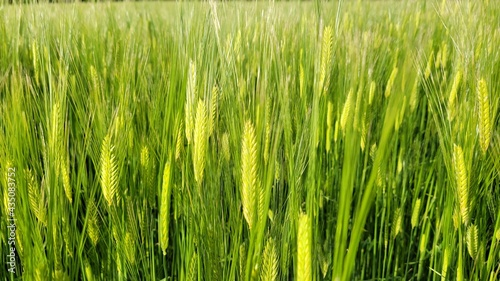 Fotografia Barley, barley field, green barley field