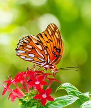 Single Gulf Fritillary, Agraulis Vanillae Nigrior, Butterfly Against A Green Background Of Plants