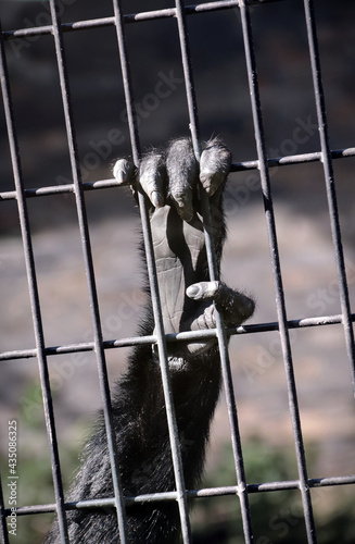 Fotografiet monkey grabbing cage bars