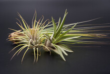 Beautiful Air Plants On Black Background