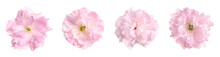 Set With Beautiful Sakura Tree Flowers On White Background. Banner Design