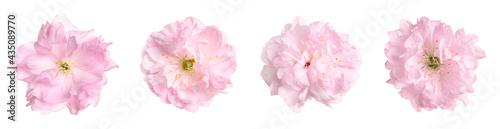 Fotografering Set with beautiful sakura tree flowers on white background