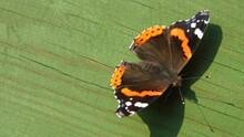 Motyl [butterfly]