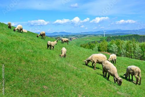 Sheep grazing on a green hillside Fototapet