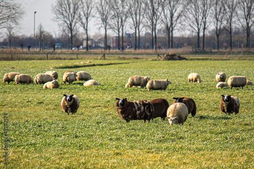 Sheep in polder Fototapeta