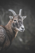 Young Mouflon In The Forest