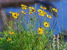 Leavenworth Tickseed (Coreopsis Leavenworthii) Florida State Wild Flower, Tickseed, Bright Yellow Petals, Blue Water Bokeh Background,
