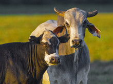 The Brahman (Bos Taurus Indicus) Is An American Breed Of Zebuine-taurine Hybrid Beef Cattle. Domestic White Bull Male With Nose Ring; Black And White Female With Small Flies, Sun Shine Pasture Behind