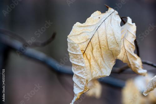 zasuszone liście w złotym kolorze na gałązce drzewa