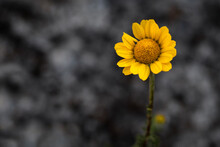Close-up Of Yellow Gazania Rigens Wildflower Isolated On A Blurred Gray Cement Background. Empty Space For Text