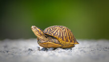 Florida Box Turtle (Terrapene Carolina Bauri) Crossing White Gravel Path - Legs In Head Out Showing Side View - Sweetwater Wetlands Gainesville Florida- White And Green Blur Background