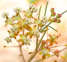 Close Up Of Wild Asclepias Verticillata, The Whorled Milkweed, Eastern Whorled Milkweed, Or Horsetail Milkweed Plant In Sandhills Of North Central Florida - Host Plant For Monarch And Queen Butterfly