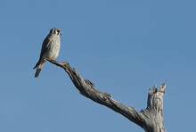 Female Southeastern American Kestrel (Falco Sparverius) Perched On Dead Tree Snag Branch, Looking Right, Blue Sky Background, Feather Detail