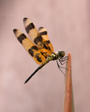 Halloween Pennant Dragonfly With Orange And Brown Banded And Spotted Wings Is Resting On The Tip Of A Bottle Palm Stem Against A Pale Pink Background.