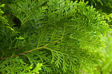 Beautiful Japanese Cypress Leaf In The Forest.