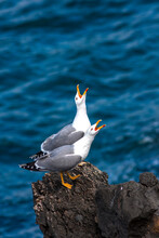 Two European Herring Gulls (larus Argentatus) Standing On The Rock By The Coast At Madeira, Portugal