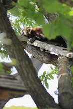 木の上で昼寝をするレッサーパンダ