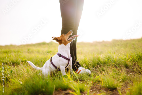 Fototapeta A small dog of the Jack Russell Terrier breed on a walk with its owners