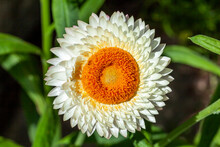 Helichrysum Bracteatum A White Yellow Summer Flowering Plant Commonly Known As Everlasting Flower Or Strawflower, Stock Photo Image