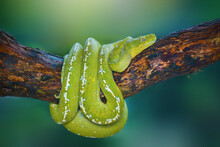 Green Snake On Branch