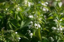 Lamium Album, White Dead-nettle Flowers Closeup Selective Focus