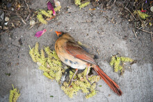 Lifeless Female Northern Cardinal (cardinalidae - Cardinalis Cardinalis) On Pavement Or Sidewalk