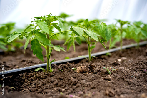 Fotografiet seedlings of cucumbers in a greenhouse on irrigation