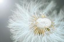 White Dandelion With Seeds, Macro Photo