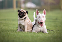 Two Dogs In Tha Park. Pug Dog. Bullterrier Dog