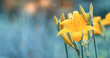 Yellow Lilies On A Blue Blurred Background. Beautiful Art Image. Selective Soft Focus. Banner.