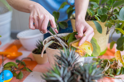 Fototapeta A woman is cutting yellow leaves, caring for potted plant