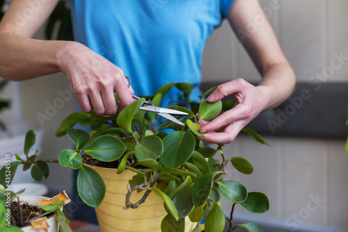 Fotografie, Obraz A woman is cutting yellow leaves, caring for potted plant