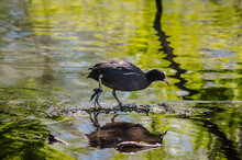 Elegant Coot On The Lake With Branches Reflection In The Water.