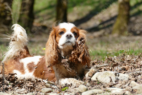 Obraz na plátne Cavalier KIng Charels Spaniel covered mit leaves and mud outdoors