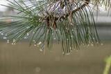 deszcz na igłach